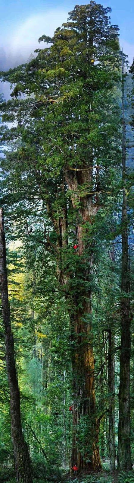 The Giant Redwood Trees
