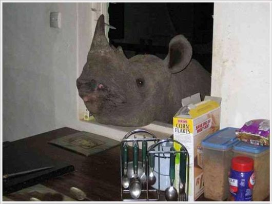 A Cute Pet Rhino