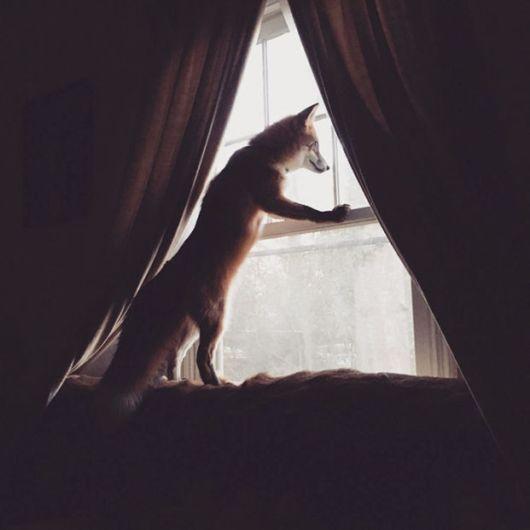 Meet Adorable Juniper - The Domesticated Fox