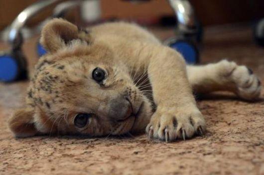 World's First Liliger Cat Kiara