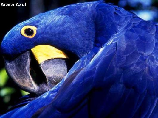 Hyacinth Macaw Parrots Species From Brazil