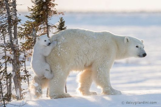 Lovely Polar Bear Cub Photographed Hitching A Ride On Mum